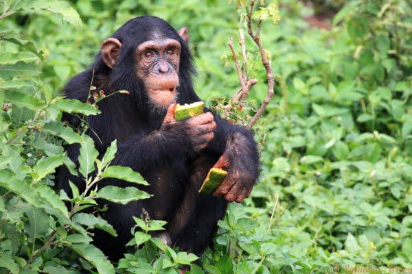 chimpanzee-uganda 2