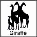 safari-in-kenia-giraffe