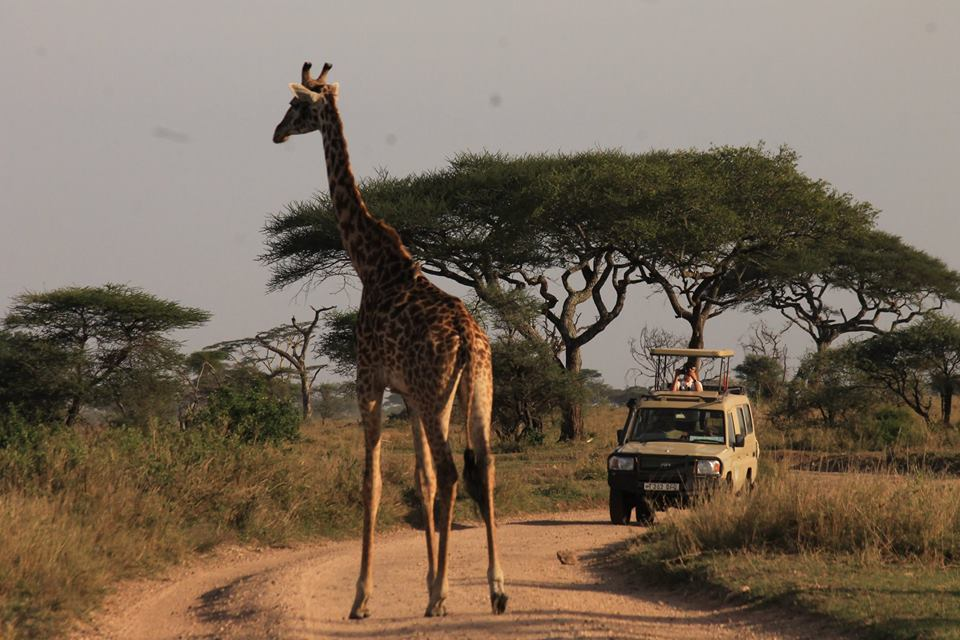 giraffe_op_de_weg