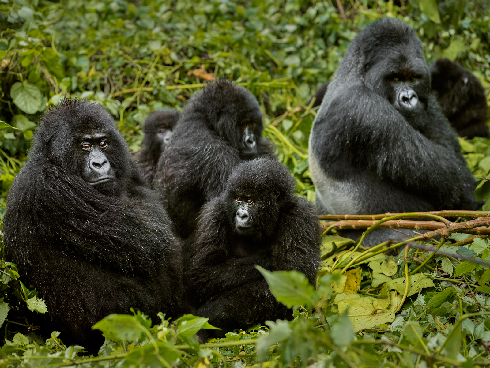 safari-in-rwanda_gorillas-volcanoes-national-park_05