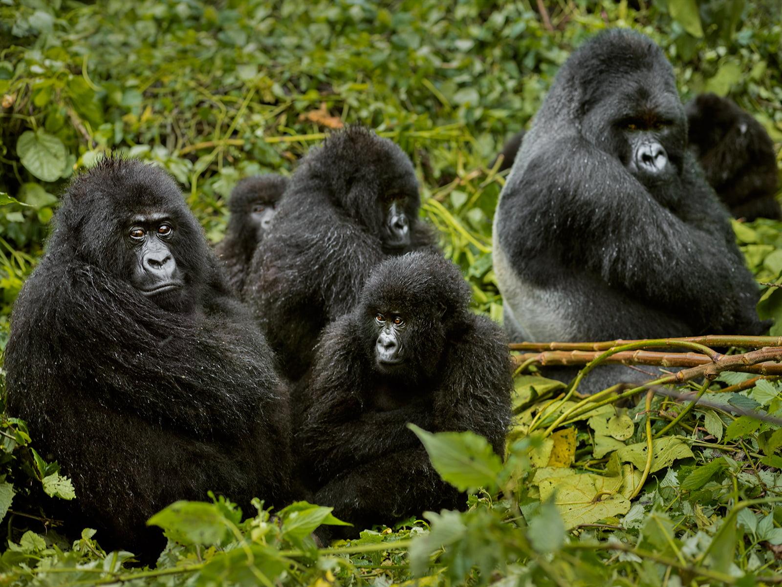 safari-in-rwanda_gorillas-volcanoes-national-park_05