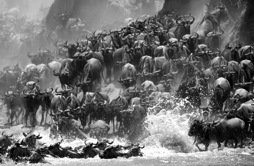 great migration serengeti B&W