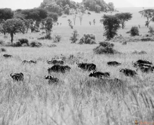 buffels-kidepo-NP-B&W