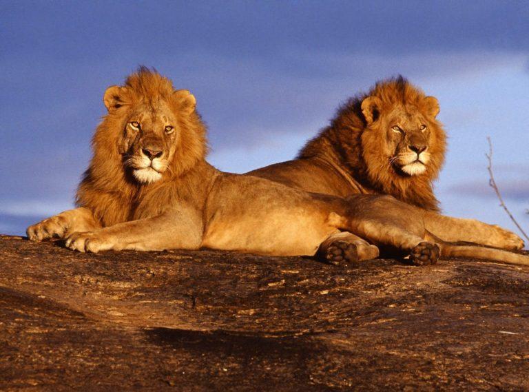 safari-in-kenia-leeuwen-koppel
