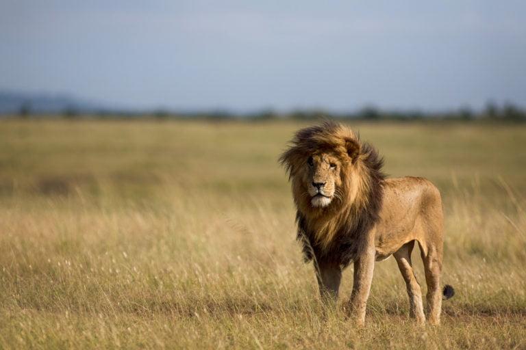 masai-mara-leeuw-768x512