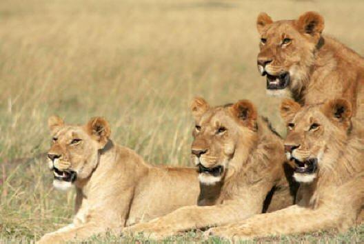 safari-in-kenia-masai_mara_game_reserve_2