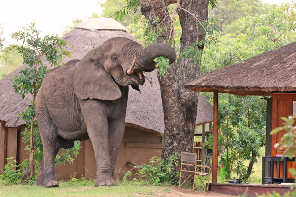 safari-in-kenia-olifant-bij-tent