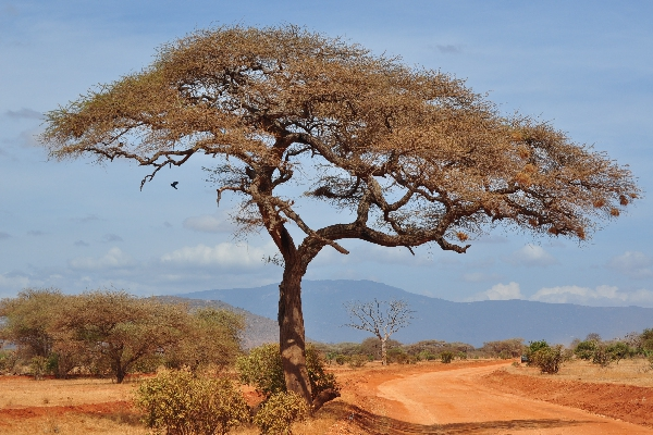 safari-in-afrika_acacia