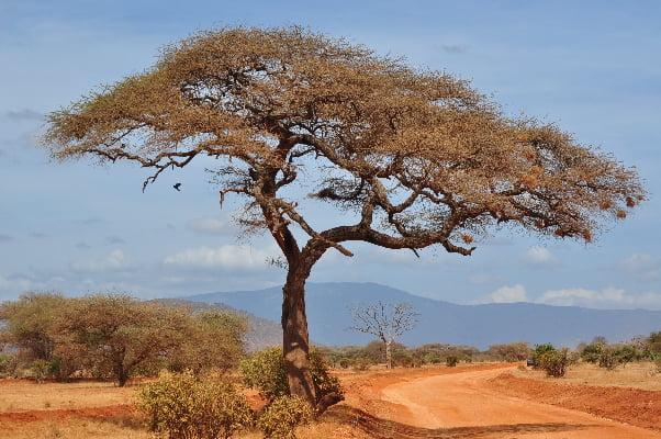 safari-in-afrika_acacia