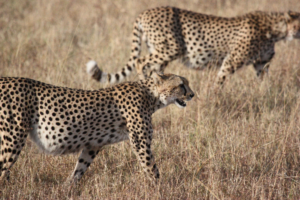 safari-in-afrika_cheetah_02