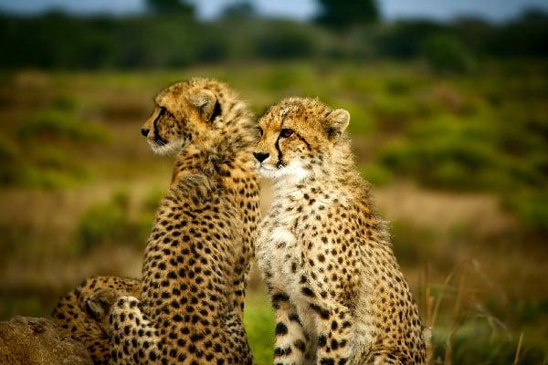 safari-in-afrika_cheetah_03
