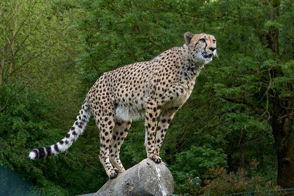 safari-in-afrika_cheetah_04