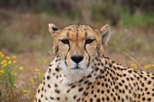 safari-in-afrika_cheetah_05