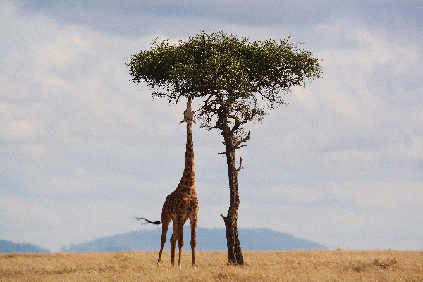 safari-in-afrika_giraf_02