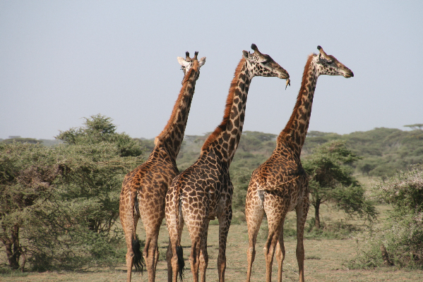 safari-in-afrika_giraffen_01