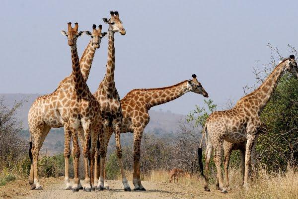 safari-in-afrika_giraffen_03