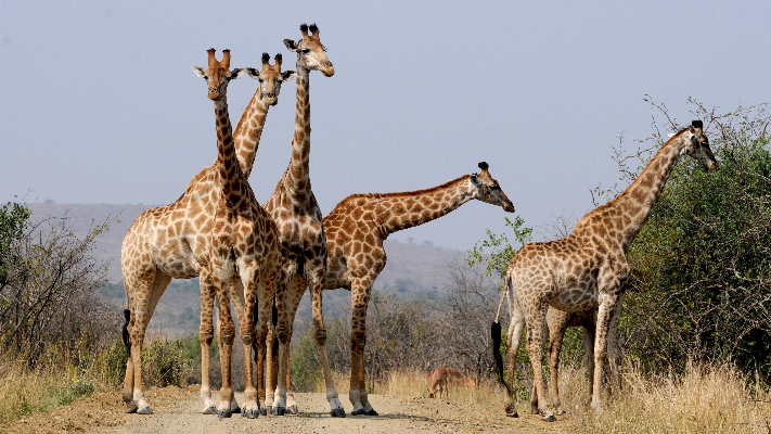 safari-in-afrika_giraffen_03