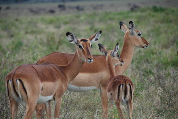 safari-in-afrika_impala_01