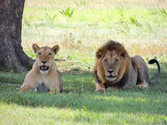 safari-in-afrika_leeuw-en-leeuwin_02