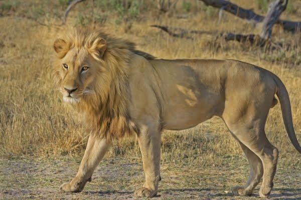 safari-in-afrika_leeuw_03