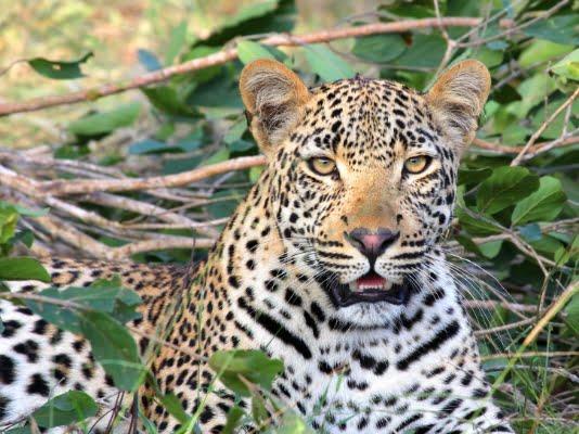 safari-in-afrika_luipaard_01