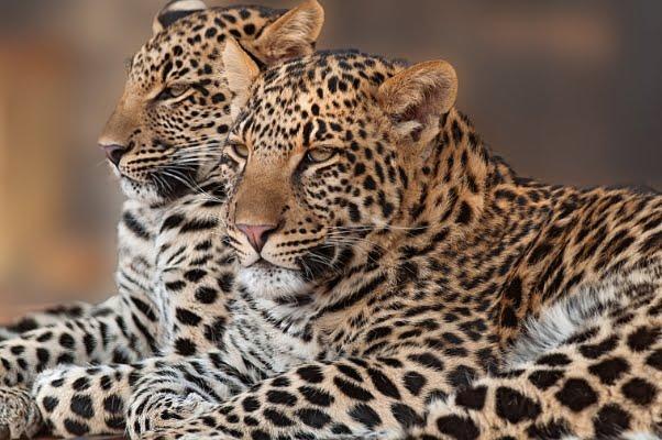 safari-in-afrika_luipaarden_01