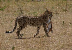 safari-in-afrika_masai-mara_01