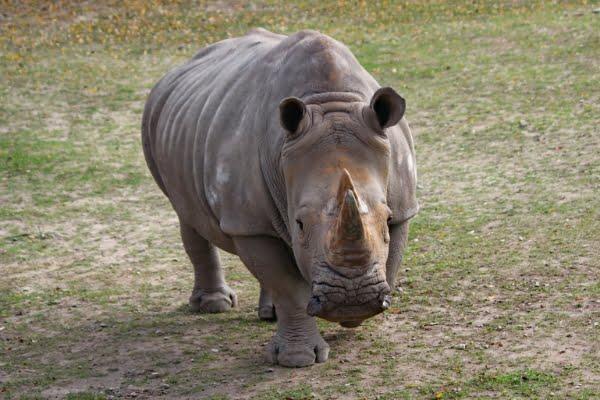safari-in-afrika_neushoorn_02