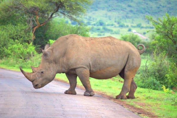 safari-in-afrika_neushoorn_03