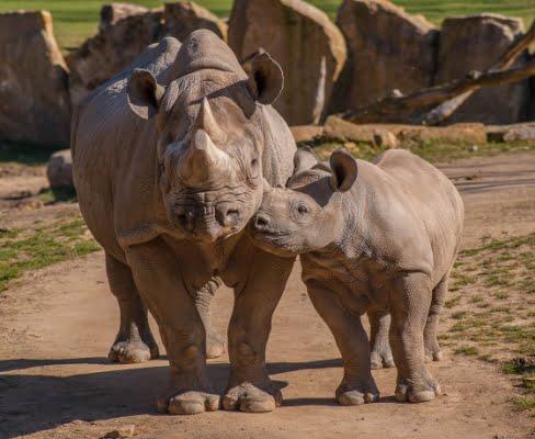 safari-in-afrika_neushoorn_04