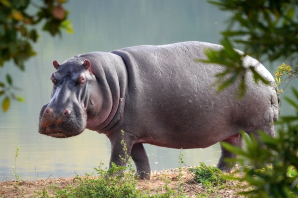 safari-in-afrika_nijlpaard_02