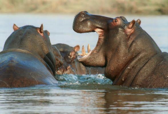 safari-in-afrika_nijlpaarden_01