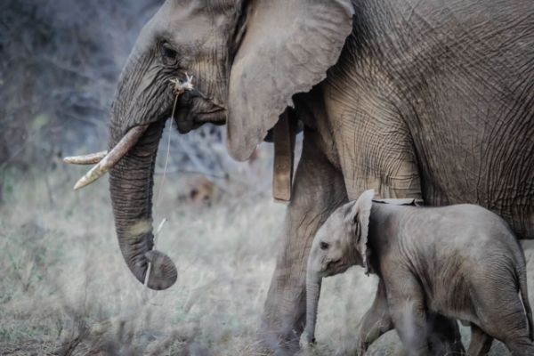 safari-in-afrika_olifant-met-jong
