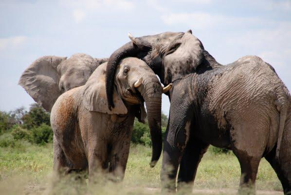 safari-in-afrika_olifanten_01