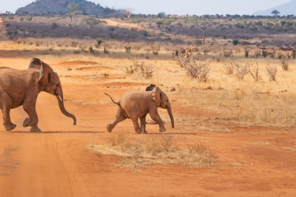 safari-in-afrika_olifanten_04