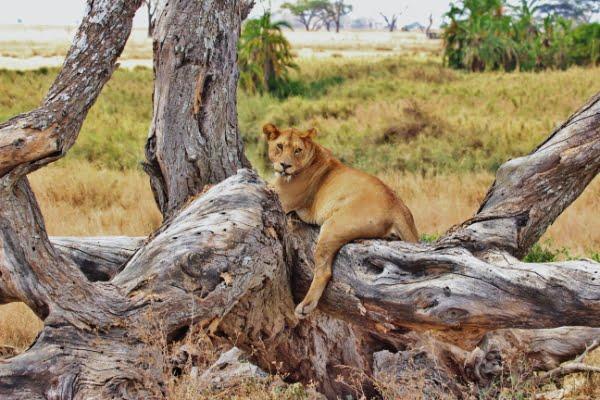 safari-in-afrika_serengeti-leeuw_01