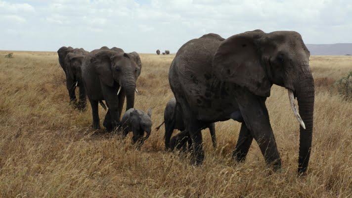 safari-in-afrika_serengeti-olifanten_01