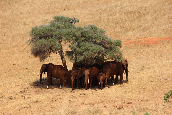 safari-in-afrika_tsavo-olifanten