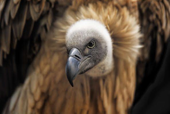 safari-in-afrika_vogels-gier