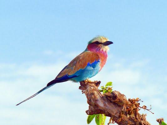 safari-in-afrika_vogels-lilac-breasted-roller