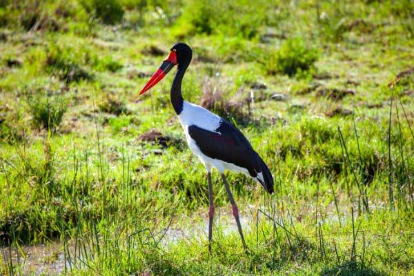safari-in-afrika_vogels-stork