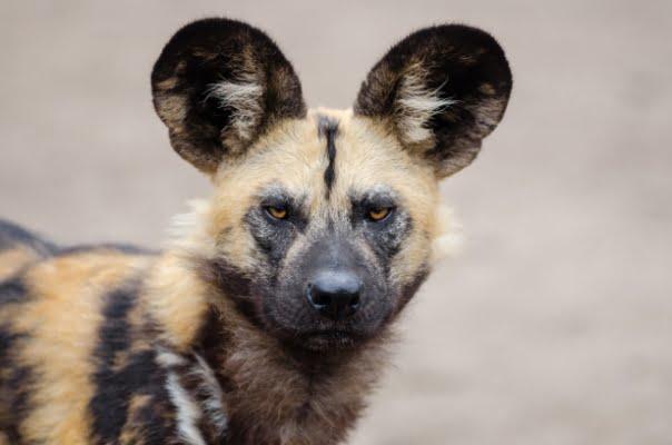 safari-in-afrika_wilde-hond_01