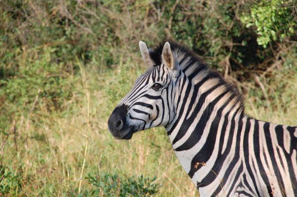 safari-in-afrika_zebra_01