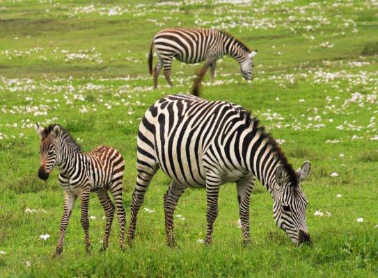 safari-in-afrika_zebra's-serengeti_01