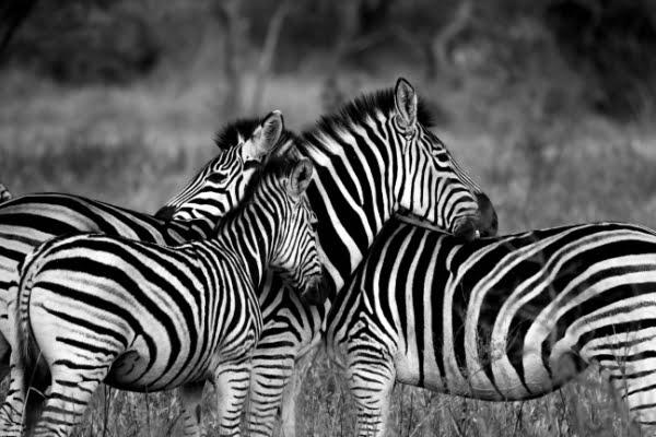 safari-in-afrika_zebra's-zwart-wit_01