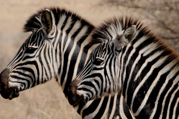 safari-in-afrika_zebra's_02
