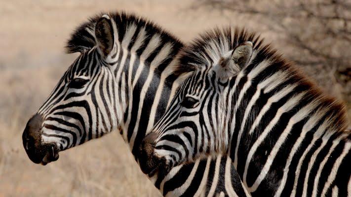 safari-in-afrika_zebra's_02