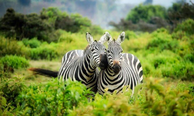 safari-in-afrika_zebra's_03