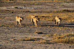 safari-in-kenia-amboseli-national-park-16