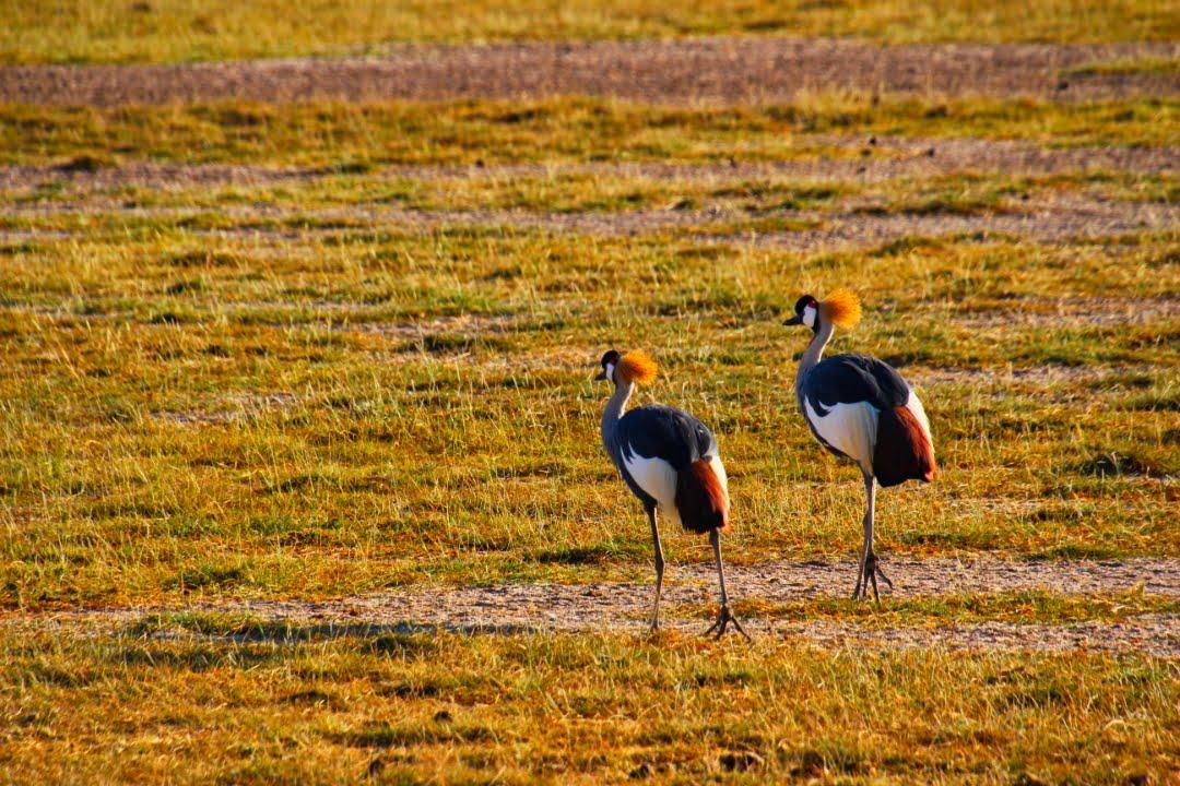 safari-in-kenia-amboseli-national-park-17